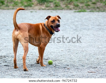 Hound retrieving the ball - stock photo