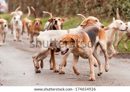 Hounds searching out the scent whilst fox hunting during hunting season in rural Shropshire, England. - stock photo