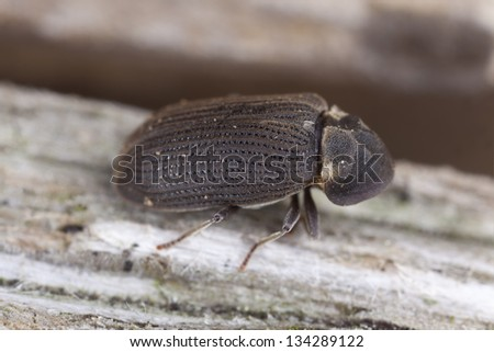 House borer, Hadrobregmus pertinax on wood, extreme close-up - stock photo