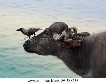 House Crows Corvus splendens on buffalo head - stock photo