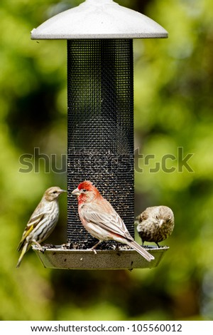 House Finch (Carpodacus mexicanus) and Pine Siskin (Carduelis pinus) on a bird feeder. - stock photo
