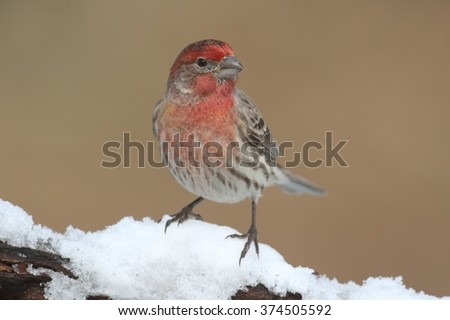 House Finch (Carpodacus mexicanus) on a branch covered with snow - stock photo