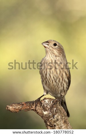 House finch or Carpodacus mexicanus perched on a branch - stock photo