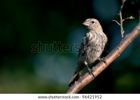 House Finch Perched in a Tree - stock photo