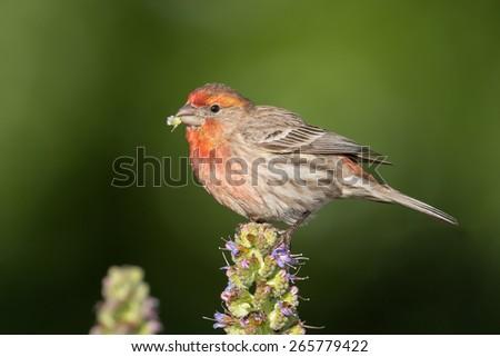 House Finch Portrait - stock photo