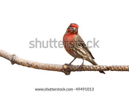 house finch with head cocked perched on a branch; white background - stock photo