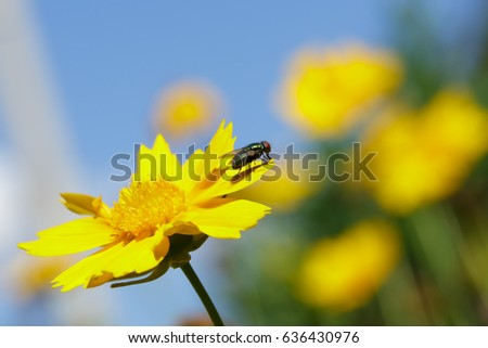 House fly on Yellow Coriopsis
