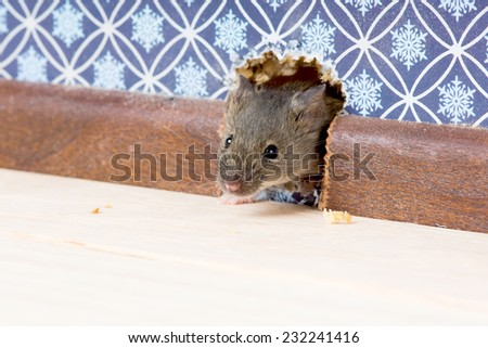 House Mouse  (Mus musculus)   gets into the room through a hole in the wall - stock photo