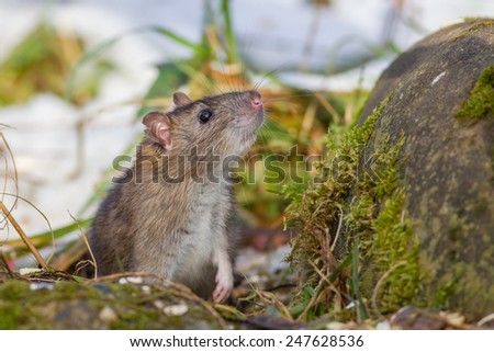 House Mouse (Mus musculus Linnaeus) - stock photo
