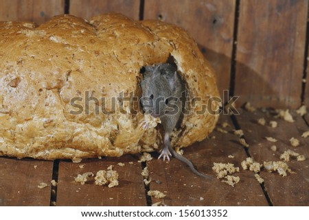 House mouse, Mus musculus, Midlands, UK - stock photo