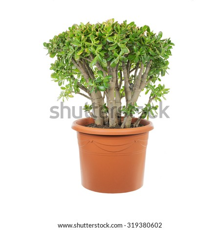 House plant Crassula in a flower pot isolated on a white background - stock photo