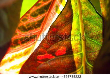 Croton Plant Stock Photos Images Pictures Shutterstock