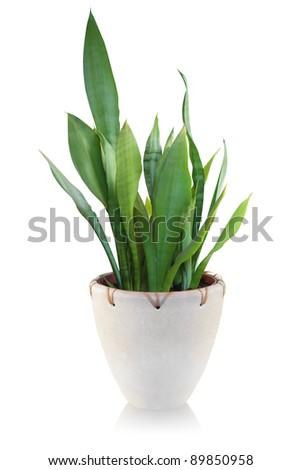 House plant on white background - Sansevieria - stock photo