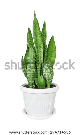 House plant Sansevieria in the white plastic flower pot isolated on a white background - stock photo