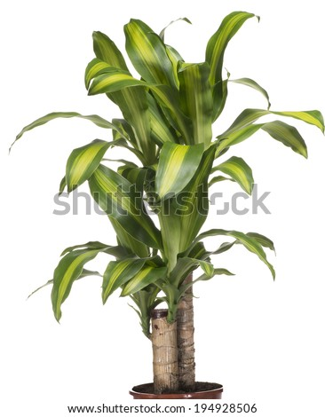 House Plant - Yucca - stock photo