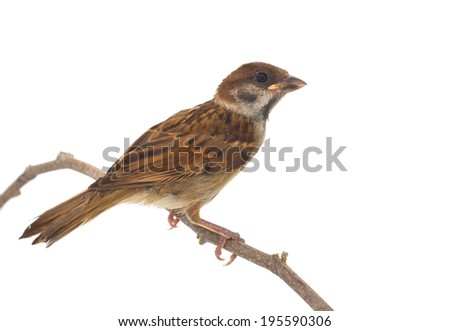 House Sparrow against isolated on a white background