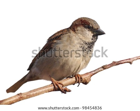 House Sparrow on branch, Passer domesticus, isolated on white background, with clipping path.