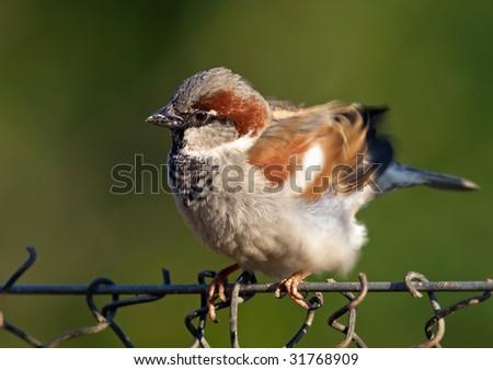 House Sparrow - (Passer domesticus) - stock photo