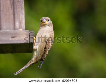 House sparrow, passer domesticus, at a garden bird feeding station