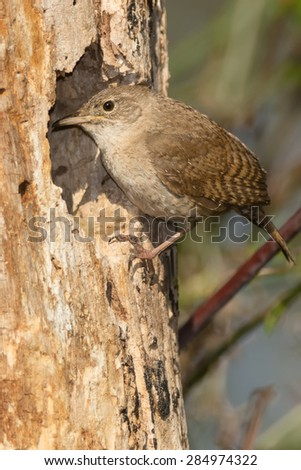 House Wren looking into its nest. - stock photo
