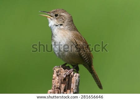 House Wren (troglodytes aedon) on a branch singing with a green background - stock photo