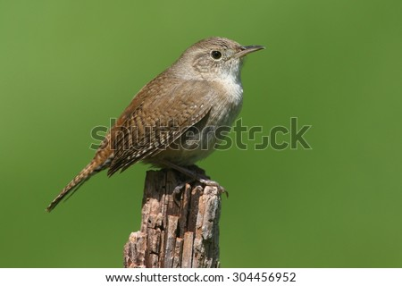 House Wren (troglodytes aedon) on a branch with a green background - stock photo