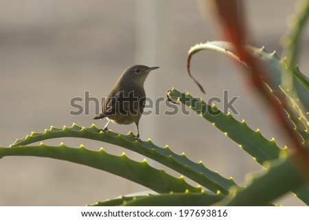 House Wren who sits on the bush of aloe in the early morning