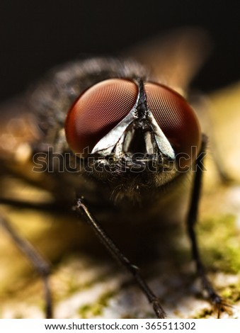 Housefly in macrophotography