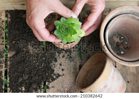 Houseleek, Woman planting houseleek in ceramic flowerpot - stock photo