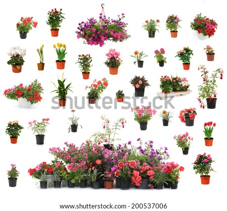 houseplant chopin in brown clay flowerpot, isolated  - stock photo