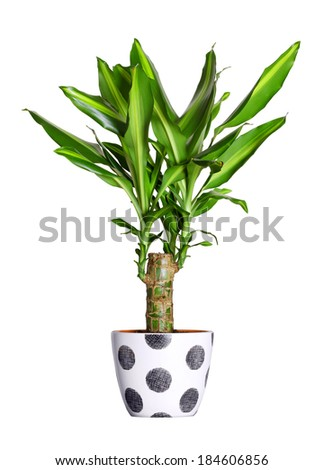 Houseplant - dracena steudneri stemm a potted plant isolated over white - stock photo