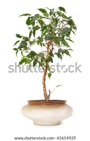 houseplant ficus benjamina in brown clay flowerpot, isolated