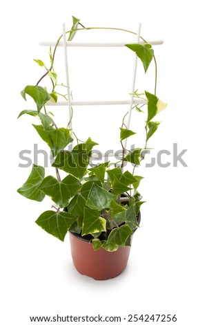 houseplant ivy in a flowerpot isolated on a white background - stock photo