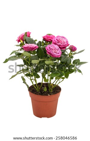 Houseplant mini rose with small pink flowers in a brown pot isolated on white background - stock photo
