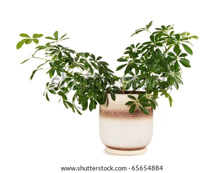 houseplant schefflera arboricola in brown clay flowerpot, isolated