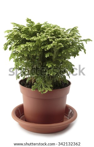 houseplant Selaginella isolated on white background