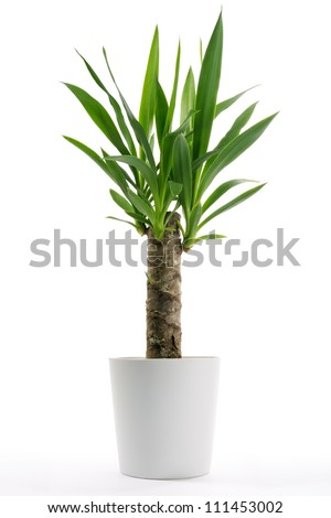 Houseplant - Yucca A potted plant isolated on white - stock photo