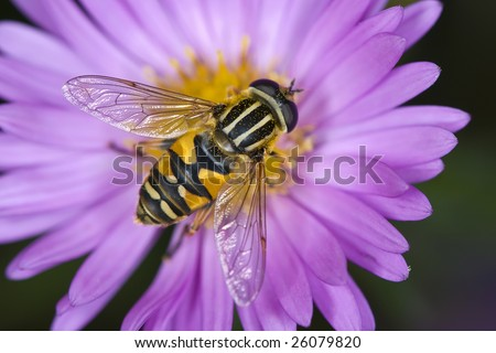 Hoverfly - stock photo