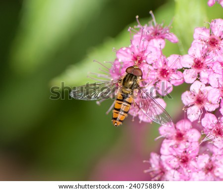 Hoverfly at pink flower blossoms