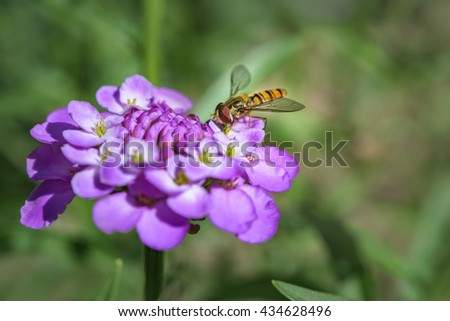 Hoverfly macro photography on purple flower. bee on flower - stock photo
