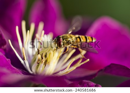 Hoverfly on a Clematis Flower - stock photo