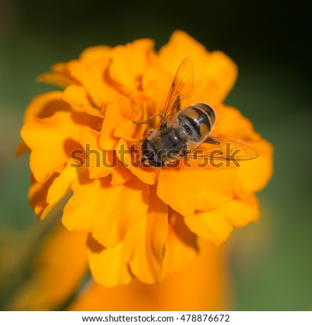hoverfly on a yellow marigold close up