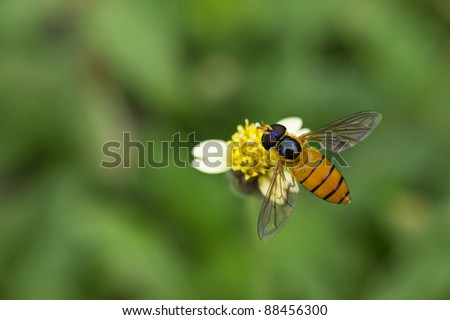 Hoverfly on flower - stock photo