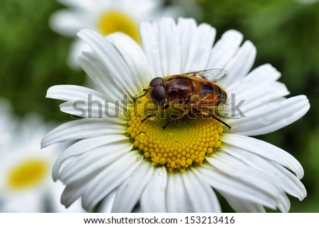Hoverfly on Ox-Eye Daisy, West Virginia, USA