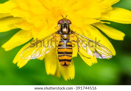 Hoverfly on yellow dandelion flower - stock photo