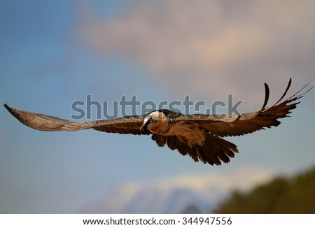 Hovering adult bearded vulture in full orange color plumage with distant colorful sky in the Spanish Pyrenees  - stock photo