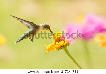 Hovering Hummingbird eating nectar from a Zinnia flower