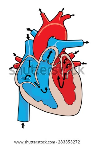 how the heart works - stock photo