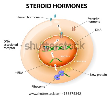 How work steroid hormones response. Steroids Bind to an intracellular receptor. this complex activates gene transcription, cause a protein to be manufactured. diagram - stock photo