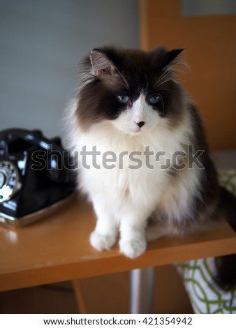 Howard Perspective Portrait of Long Haired Bi-Color Brown White Blue Eyed Ragdoll Cat sitting with Vintage Black Rotary Phone - stock photo